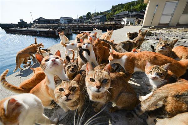 القطط احتلت أوشيما