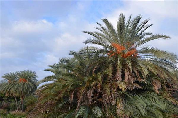 كيف تتعامل مع «أشجار النخيل» خلال ديسمبر للوقاية من الآفات