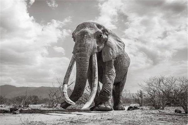ملكة أفيال كينيا