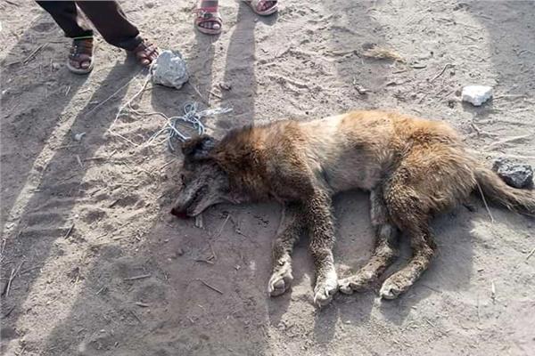 كلب هجين قتله الأهالي