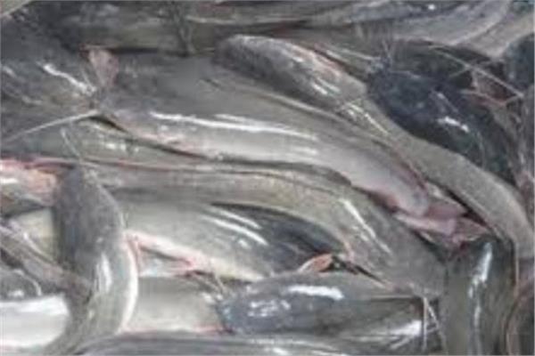 سمك قراميط بالبحيرة