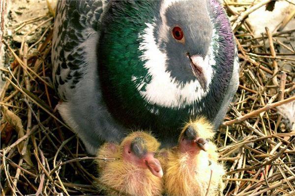 «لبن العصفور» متوفر في الحقيقة.. الطيور ترضع دون أثداء