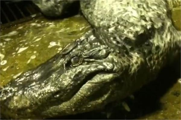 التمساح ساتورن
