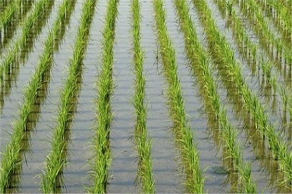 روشتة نصائح للمزارعين بشأن التعامل مع محصول الأرز