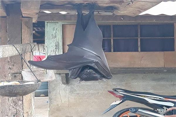 بالحجم البشري.. خفاش عملاق يثير الجدل على «السوشيال ميديا»