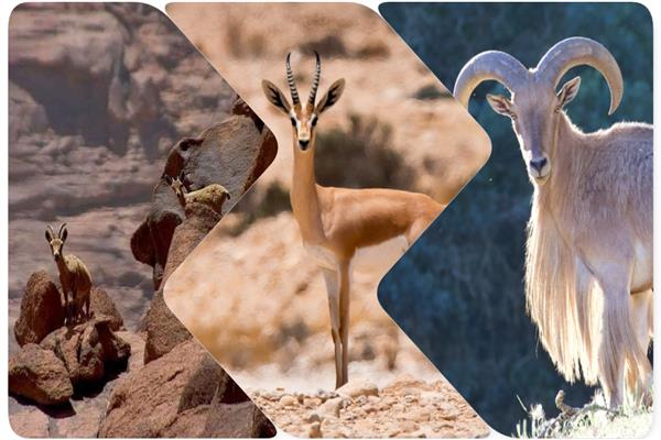 تعافي كائنات مصرية مهددة بالانقراض