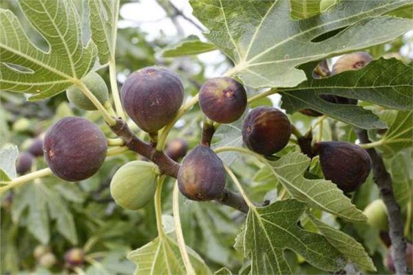 «الزراعة» تصدر نشرة توصيات لمزارعين «التين» خلال شهري اغسطس وسبتمبر