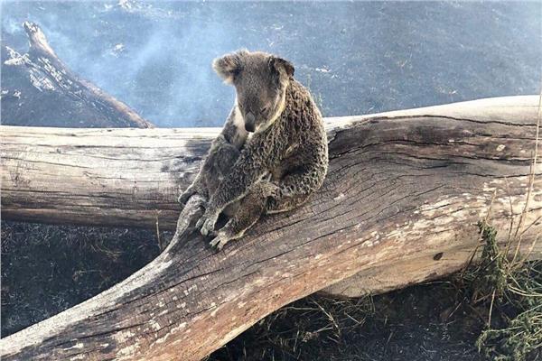 الكوالا أحد الحيوانات التي أصابها الانقراض الوظيفي