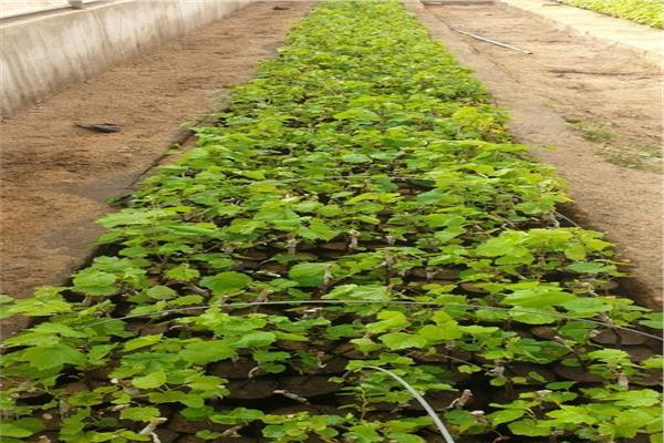 محاصيل الخضر
