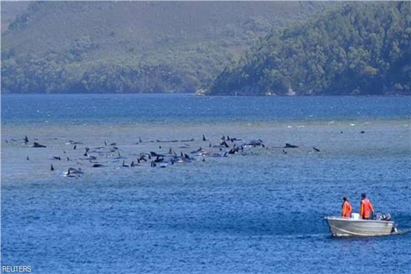 الحيتان دخلت منطقة يصعب الخروج منها