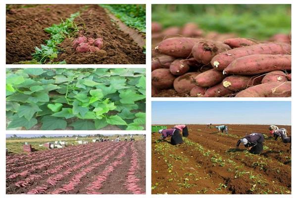 تعرف على طرق زراعة «البطاطا» وكيفية التعامل معها