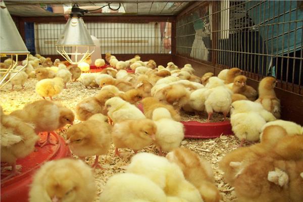 «الزراعة» توافق على تصدير كتاكيت بياض إلى الخارج