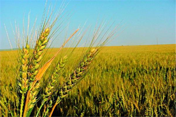 الزراعة تشكل لجان للمرور على حقول القمح