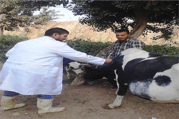 تحصين ٤٤ ألف رأس ماشية بالشرقية ضد التهاب الجلد العقدي وجدري الاغنام