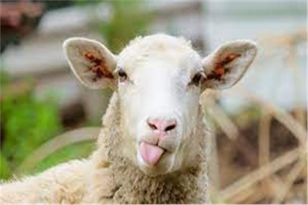 خروف - صورة موضوعية