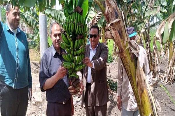 نجاح زراعة الليمون بالري بالتنقيط في محافظة دمياط