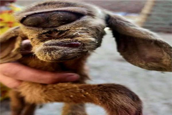 ذكر الماعز و الوجه الغريب تسبب في جدل بين الأهالي