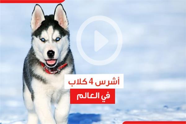 أشرس 4 كلاب في العالم