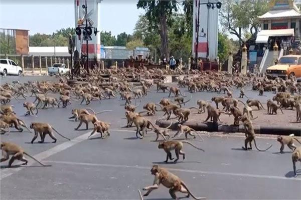 القرود  في تايلاند