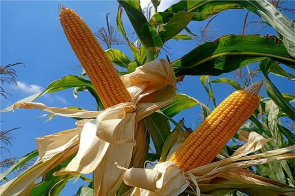 توصيات لحماية محصول الذرة