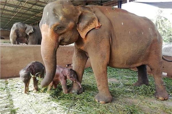 الفيلة مع توأمها
