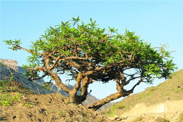 صورة شجرة اللبان