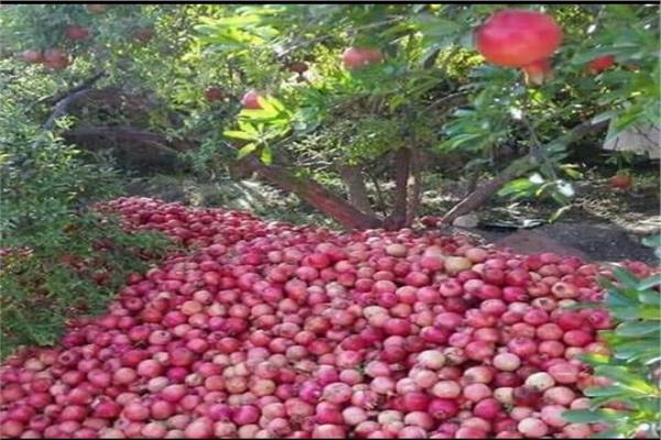 موسم حصاد الذهب الأحمر فى أسيوط