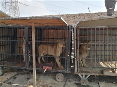 «الزراعة» تودع 5 سباع وثعبان تم مصادرتهم بحديقة حيوان الجيزة