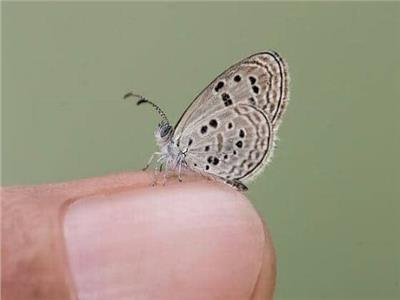حكايات  «الجميلة السيناوية».. الفراشة الأصغر والأندر يحاصرها تغير المناخ