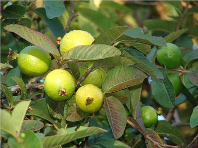 4 نصائح لزيادة وجودة إنتاج الجوافة.. تعرف عليه