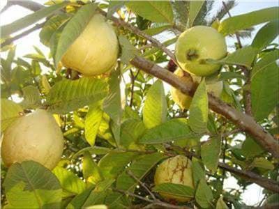 الزراعة تقدم 5 توصيات فنية لمزارعي الجوافة خلال يناير 2019