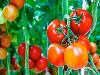 5 توصيات لمزارعي الطماطم يجب اتباعها خلال مارس