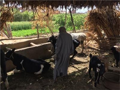 من «تسمين العجول» لـ«دعم الفلاحين».. تفاصيل قرض التنمية المحلية للمشروعات الصغيرة