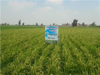 «الأرز الجاف».. خطوة على طريق الاكتفاء