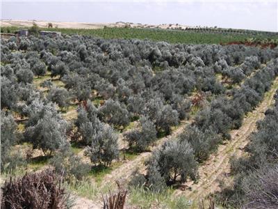 «شمال سيناء» تتصدر العالم في «زيت الزيتون»