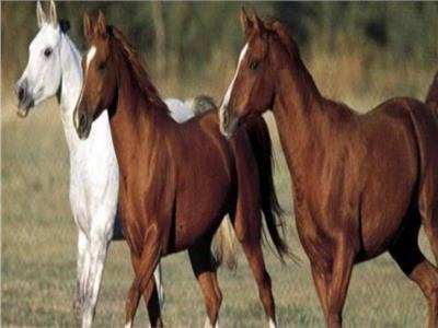 الزراعة تكشف أهمية نقل محطة الزهراء للخيول العربية إلى العاصمة الإدارية