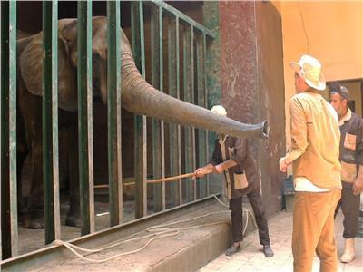 حكايات  ما لا تعرفه عن الفيلة «نعيمة».. قتلت زوجها وحارسها وبكاها 20 رجلا