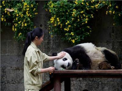 الصين: نحو ألفي «باندا» تعيش في البرية وسنواصل العمل لحمايتها