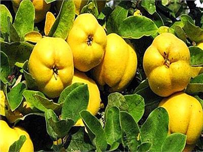 زهور الخريف  «السفرجل» يطرد البلغم ويعالج الإسهال