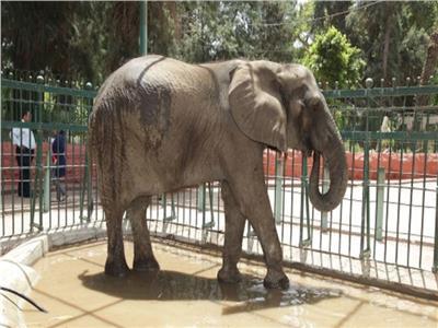 فيديو   بعد وفاة الفيلة «نعيمة» تعرف على الوافدين الجدد بحديقة الحيوان