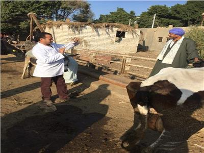 تحصين 66 ألف رأس ماشية ضد الحمي القلاعية والوادي المتصدع في المنيا