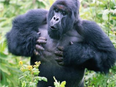 «قرع صدر الغوريلا» يجذب الإناث ويرهيب الذكور