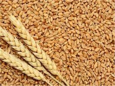 اليوم.. توريد محصول القمح المنزرع على مساحة 1570 فدانا بـ«القليوبية»