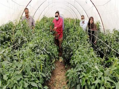 نجاح زراعة الفلفل داخل الصوببنظام الري بالتنقيط في محافظة دمياط