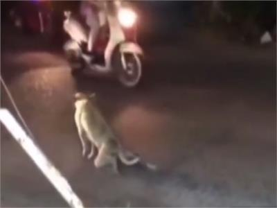 كلب يخدع سائقي السيارات ليوقف الشارع بطريقة مضحكة.. فيديو
