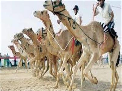 رئيس الاتحاد المصري للهجن: 1500 متسابق يشاركون في مهرجانات جنوب سيناء