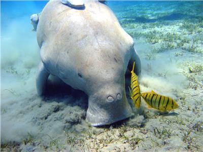 حكايات  «الأطوم» مكنسة البحر.. يعيش 70 عامًا ومهدد بالانقراض