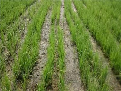 التموين: حققنا الاكتفاء الذاتي من الأرز.. ونصدر 6 ملايين طن بصل  فيديو