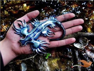 حكايات| لا يطير ولا ينفث نارًا.. تنين البحر الأزرق أجمل قاتل في المحيط