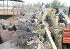 مشروع «المليون رأس ماشية».. الخير يبدأ من النوبارية